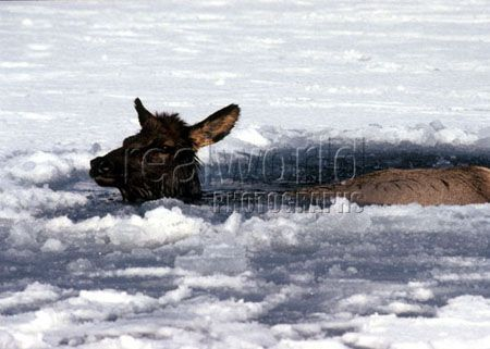 An elk patiently waits to be rescued from the frozen Bow River in Banff National Park, Banff, Alberta, Canada.